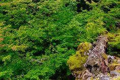 Late Summer Vine Maples, Lewis County, Washington, 2016   #nature #trees #photography #art #prints #wallart