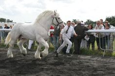 The Boulonnais horses come from France and are considered legendary creatures that were brought from France by none other than Julius Caesar sometime during his preparation to invade Britain. Experts have note that they are often referred to as the Thoroughbred horses of the draft breeds.