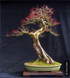 Bonsai with beautiful jin