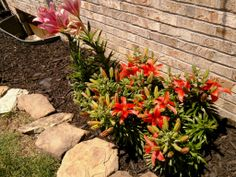 asiatic and pink lilies