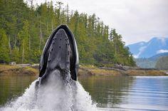Humpback Whale feeding @ Whiskey Cove