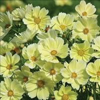 Cosmos 'Xanthos' Wasn't too vigorous compared to other varieties