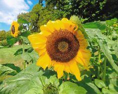 SUNNY SUNFLOWERS - TASMANIA