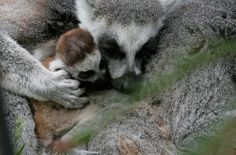 Good job, Roxy and Rakota, you should be proud. | There Was A Baby Lemur Born In The Bristol Zoo You Need To Look At