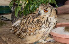 Birds of Prey, Eagle Encounters, Cape Town Owl Photos, Beautiful Owl, Cute Owl, Birds Of Prey, Cape Town, Eagle, Photography, Photograph, Fotografie