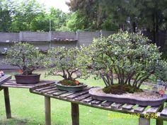 Bonsai Bonsai, South Africa, Patio, Outdoor Decor, Home Decor, Decoration Home, Room Decor, Home Interior Design, Home Decoration