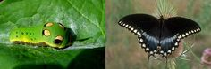 How to attract the Spicebush Swallowtail butterfly. There is a video on the blog address at upper right corner