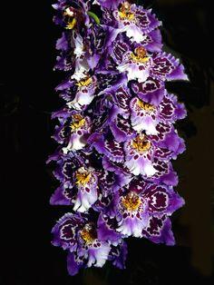 Oncidium (Odontioda) Nation Dugger, photographed at the 5-08  san francisco orchid society mtg