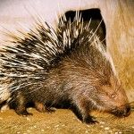 Malayan Porcupine: Awkwardly Incredible Rodent