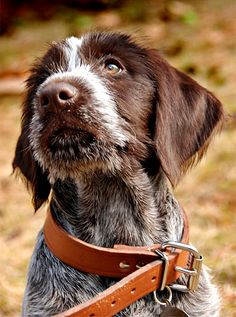 German Wirehaired Pointers.The German Wirehaired Pointer, named after his country of origin, is a HIGH energy (in my experience) combination of the finest qualities of the Pointer, Griffon, Stichelhaar, Foxhound and Pudelpointer.
