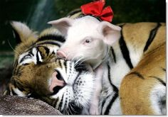 This might be the cutest thing I've ever seen in my life.  This is Sai Mai, a tigress in a zoo in Thailand.  She was nursed by a female pig for four months after birth, which explains why she's totally cool with piglets lovin' up on her =)