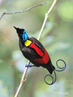 Wilson's Bird-of-paradise (Cicinnurus respublica) Male.