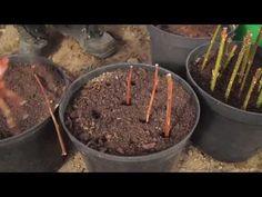 Jak rozmnażać drzewa i krzewy z sadzonek zdrewniałych - YouTube Pergola, Gardening, Amigurumi, Lawn And Garden, Outdoor Pergola, Horticulture