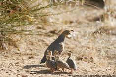 Gambel quail are so cute and such good parents!