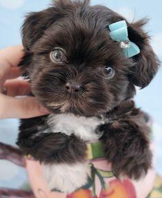 Beautiful Chocolate Shih Tzu Puppy