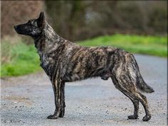 Ch. Numenor Westernesse de la Terre des Flandres 3 years Old   Breed ➡️ DUTCH SHEPHERD DOG From @terredesflandres_bh, France Dutch Shepherd Dog, 3 Years, Panther, France, Dogs, Animals, Earth, Animales, Animaux