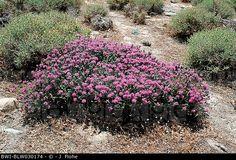 thymus Coridothymus capitatus, Thymus capitatus, blooming plant ...
