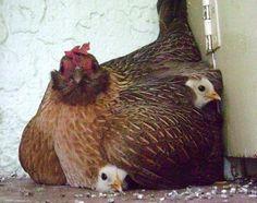 mothering hen + chicks