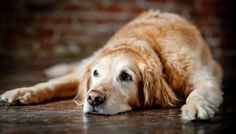 Is your dog is slowing down? It could be hip dysplasia, find out how do you know for sure, and how you can treat it naturally such as modifying its diet or giving it natural supplements and much more.  http://healingpawsfl.com/treat-your-dog-hip-dysplasia-naturally-fort-lauderdale/  #dogphysicaltherapy #petlasertherapy #doggielaser #healingpawscenter #fortlaudholisticvet #holisticvet #vetacupuncture #dogacupuncture #petphysicaltherapy