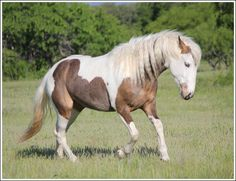 Flaxen chestnut Medicine Hat Paint x American Bashkir Curly Horse