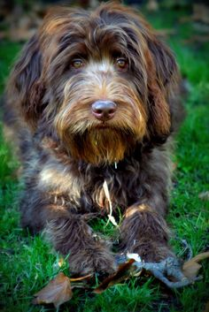 My Chocolate Labradoodle ~ Mulligan ~ 6-months Old