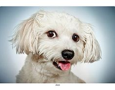 Pictures of Ziggy a Maltese/Poodle (Miniature) Mix for adoption in New York, NY who needs a loving home.