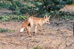 An Indian Desert Fox (Vulpes vulpes pusilla) in Little Rann of Kutch. ©Marc & Peggy Faucher