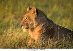 Image result for kalahari lion sunset
