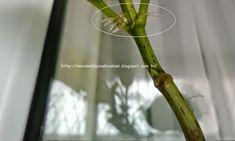 Mevsimlik Çiçek Bakımı: ORTANCA ÜRETİMİ
