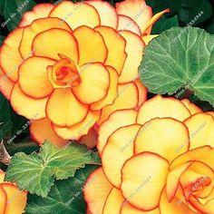 20 PCS/Pack Begonia Flower Seeds 100% True Malus Spectabilis Seeds