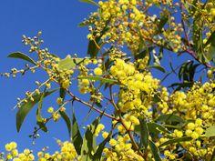 Golden Wattle - Australia's National floral emblem