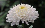 bloemen - chrysant staat als symbool voor: allerzielen, gedachten aan dierbare zielen