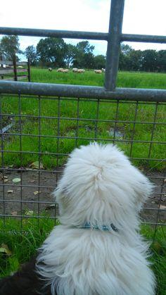 Kayleigh schaapjes kijken