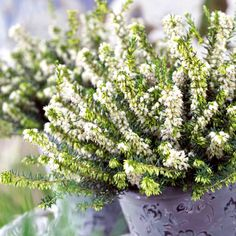 Heather (Erica) darleyensis White Perfection - Suttons Seeds and Plants