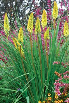 Kniphofia 'Pineapple Popsicle' - Popsicle Hot Poker