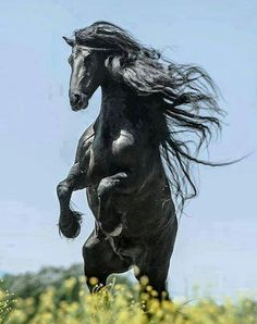 Magnificent portrait style photo of a black stallion with flowing curly mane rearing up in a green pasture, with light blue skies as the background. White sunshine glistens off the shiny coat of this horse. -DdO:) MOST POPULAR RE-PINS http://www.pinterest.com/DianaDeeOsborne/gorgeous-horses-more/ - GORGEOUS HORSES AND MORE. The proud heritage of wild Arabian horses surely is worthy of this photography composition.  Pin photo via Gitte Daphne:
