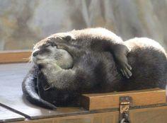 Otter snuggles