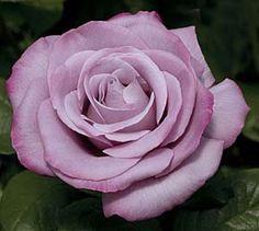 Susz varieties of scented Roses