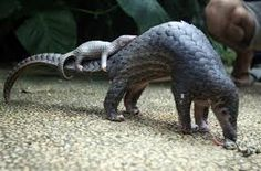 A scaly anteater known as the pangolin is suddenly getting a lot of attention as scientists around the world try to figure out how the coronavirus jumped to humans. Science News Summaries. All About Animals, Animals Of The World, Pangolin Pictures, National Geographic Society, Weird Facts, How To Do Nails, Mammals, Baby Animals, Sons