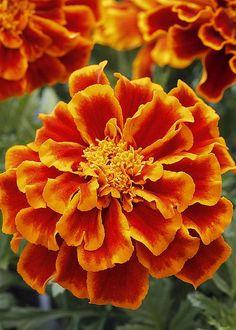 Marigold 'Durango Flame'