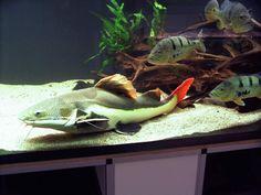 Red Tailed Catfish - World Cichlids Marine Aquarium Fish, Freshwater Aquarium Fish, Saltwater Aquarium, Saltwater Fishing, Red Tail Catfish, Cichlid Aquarium, Monster Fishing, Underwater Life, Exotic Fish