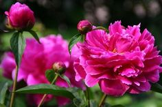 Herbaceous Peony Flower Seeds  Flowers Seeds About by Greenworld1, $2.99