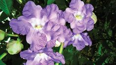 SGNP To Bloom Into A Lavender Carpet As Karvi Sets In After Eight Years  >>> Associate professor of zoology department and vice-principal of Bhavan's College who has been following Karvi blooming since 1986 stated that the Strobilanthes Callosa was endemic to the Western Ghats, and their mass blooming could be best witnessed in SGNP, Film City area as well as Tungareshwar, Lonavala-Khandala, Matheran, Mahabaleshwar and other places.