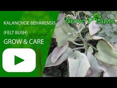 Kalanchoe beharensis - Learn how to grow Kalanchoe beharensis, plant information - climate, zone, uses, growth speed, water, light, planting & bloom