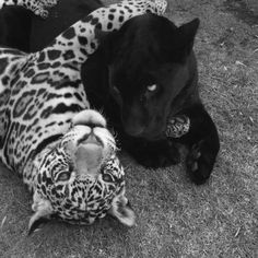 Nature Animals, Baby Animals, Cute Animals, Big Cats, Cute Cats, Black And White Picture Wall, Images Esthétiques, Black And White Aesthetic, Belle Photo