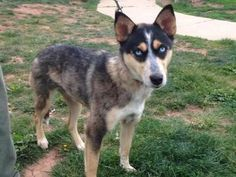 Check out Nikki's profile on AllPaws.com and help her get adopted! Nikki is an adorable Dog that needs a new home. https://www.allpaws.com/adopt-a-dog/australian-cattle-dog-blue-heeler/4314927?social_ref=pinterest