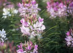 How to Grow and Care for Cleome (Spider Flowers)