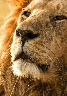 Did you know? The lion population in Africa has been reduced by half since the early 1950s. Today, fewer than 21,000 remain in all of Africa.