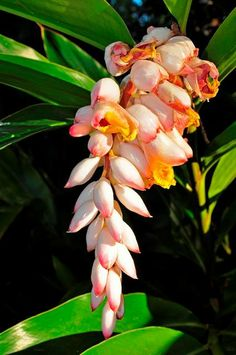 Shell Ginger (friendly non-native) Florida Native Plants, Beautiful Roses, Nativity, Landscaping, Shell, Bloom, Lily, Messages, Park