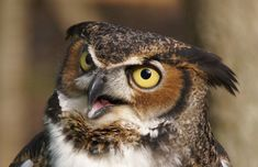 47 Superb Owls - BuzzFeed Mobile
